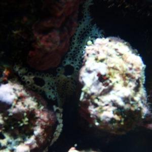 Tuniciers » Ascidie » Botryllus tuberatus