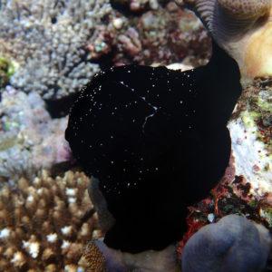 Mollusques » Gastéropodes » Ovules » Ovula ovum