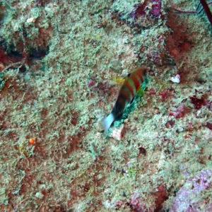 Poissons osseux » Labre » Choerodon fasciatus