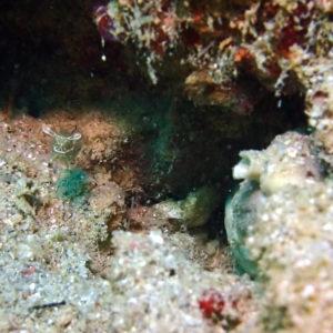 Crustacés » Crevettes » Periclimenes tenuipes