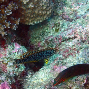 Poissons osseux » Labre » Macropharyngodon meleagris