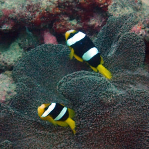 Poissons osseux » Poisson-clown » Amphiprion clarkii