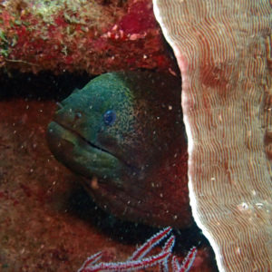 Poissons » Murène » Gymnothorax flavimarginatus