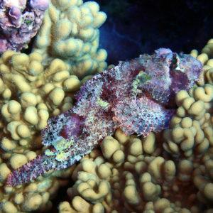 Scorpaenopsis macrochir - Nouvelle-Calédonie, La Foa, La Corne d'Isié