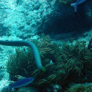 Serpent marin » Aipysurus laevis