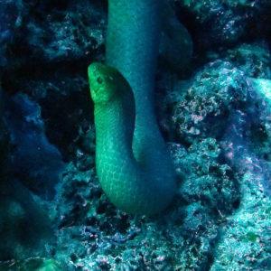 Reptiles » Serpent » Aipysurus laevis