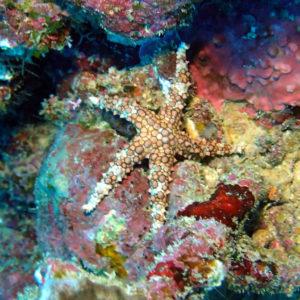 Échinodermes » Étoile de mer » Gomophia egyptiaca