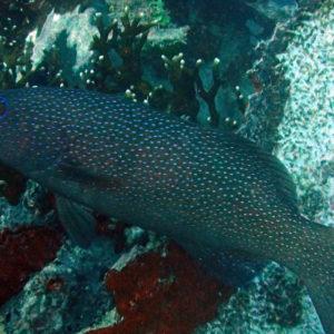 Poissons » Loche » Plectropomus leopardus