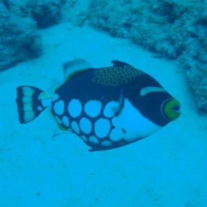 Balistoides conspicillum - Nouvelle-Calédonie, Nouméa, Le sournois