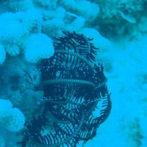 Crinoïde - Nouvelle-Calédonie, Nouméa, Le sournois