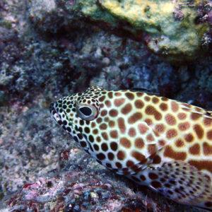 Epinephelus merra - Nouvelle-Calédonie, Nouméa, Le sournois