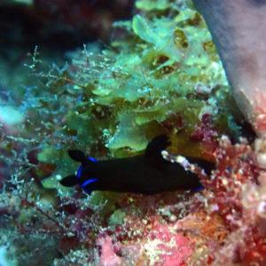 Mollusques » Gastéropodes » Nudibranches » Tambja morosa