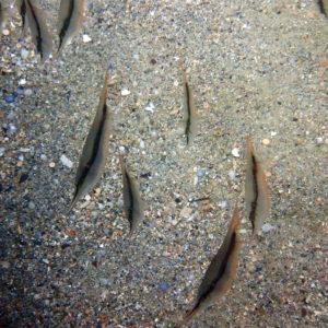 Aeoliscus strigatus - Nouvelle-Calédonie, Nouméa, Baie des Citrons