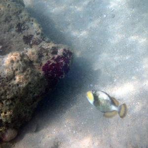 Balistoides viridescens - Nouvelle-Calédonie, Nouméa, Baie des Citrons