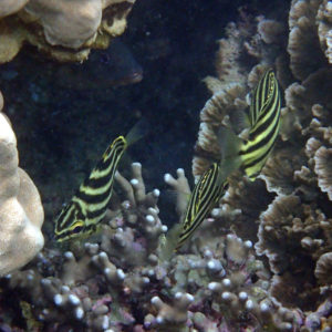 Poissons » Microcanthe » Microcanthus strigatus