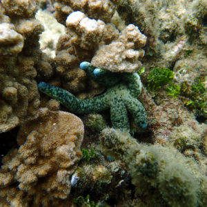 Échinodermes » Étoile de mer » Linckia guildingi