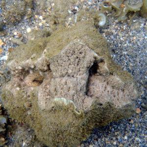 Mollusques » Bivalves » Bénitier » Tridacna crocea