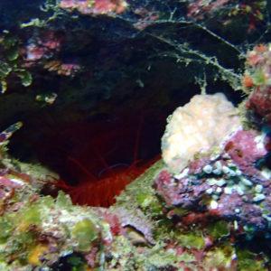Mollusques » Bivalves » Ctenoides ales