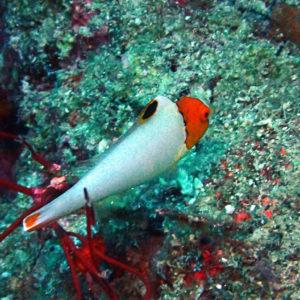 Poissons » Poisson-perroquet » Cetoscarus ocellatus