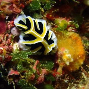 Mollusques » Gastéropodes » Nudibranches » Reticulidia fungia