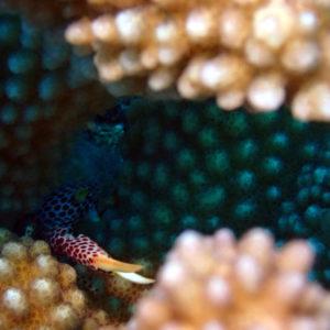 Crustacés » Crabes » Trapezia rufopunctata