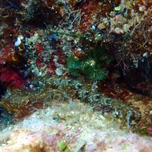 Mollusques » Gastéropodes » Nudibranches » Pteraeolidia ianthina