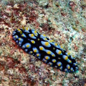 Mollusques » Gastéropodes » Nudibranches » Phyllidia coelestis