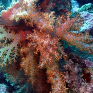 Cnidaires - Nouvelle-Calédonie, Poindimié, Phuket