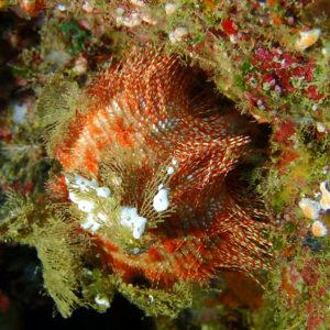 Salmacis belli - Nouvelle-Calédonie, Poindimié, Phuket