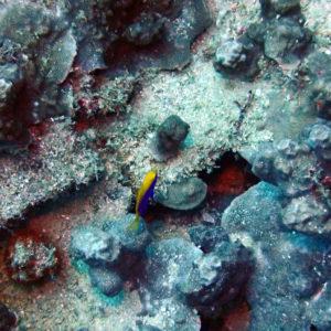 Poissons osseux » Poisson-demoiselle » Chrysiptera starcki