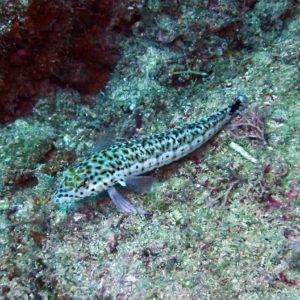 Parapercis hexophtalma - Nouvelle-Calédonie, Poindimié, Chemin des écoliers