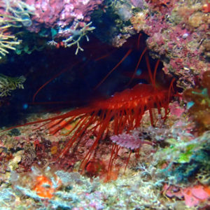Mollusques » Bivalve » Ctenoides ales