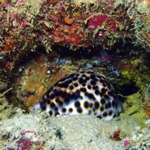 Mollusques » Gastéropodes » Porcelaine