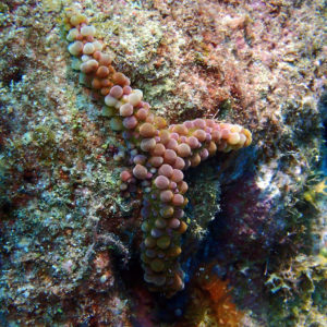Échinodermes » Étoile de mer » Echinaster callosus