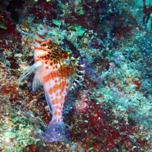 Cirrhitichthys falco - Nouvelle-Calédonie, Poindimié, Pascaline