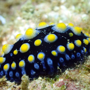 Mollusques » Gastéropodes » Nudibranches » Phyllidia carlsonhoffi