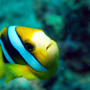 Poissons » Poisson-clown » Amphiprion clarkii