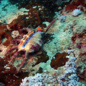 Mollusques » Gastéropodes » Strombidae » Lambis chiragra