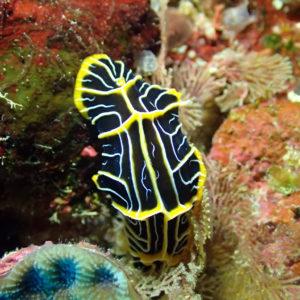 Mollusques » Gastéropodes » Nudibranches » Reticulidia halgerda