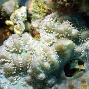 Cnidaires - Nouvelle-Calédonie, Poindimié, Waneck