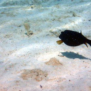 Ostracion cubicus - Nouvelle-Calédonie, Île des Pins, Piscine naturelle d'Oro