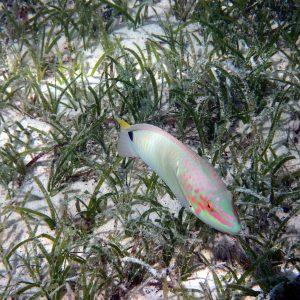 Halichoeres trimaculatus - Nouvelle-Calédonie, Île des Pins, Piscine naturelle d'Oro