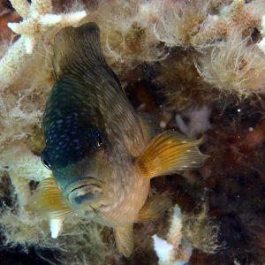 Stegastes punctatus - Nouvelle-Calédonie, Île des Pins, Piscine naturelle d'Oro