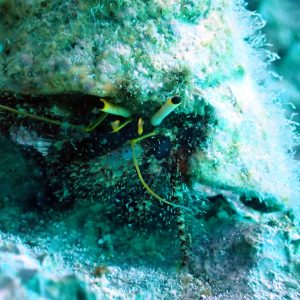 Crustacés » Bernard-l'ermite » Dardanus lagopodes