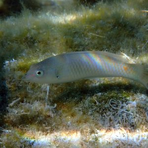 Poissons » Labre » Halichoeres trimaculatus