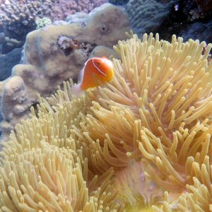 Poissons » Poisson-clown » Amphiprion perideraion