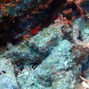 Poissons osseux » Gobie » Eviota prasites