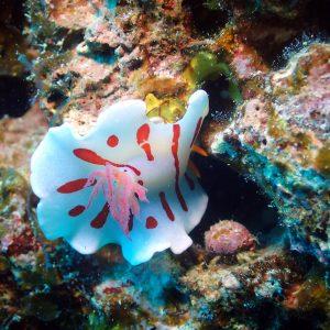 Mollusques » Gastéropode » Limaces de mer (opisthobranche) » Nudibranche » Doridien » Verconia catalai