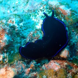 Organismes vermiformes » Ver plat (plathelminthe) » Pseudoceros sapphirinus