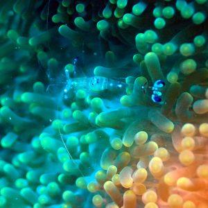 Crustacés » Crevette » Periclimenes sp.